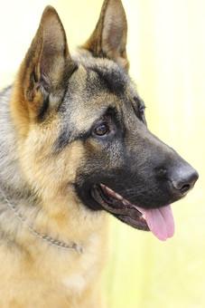 犬 いぬ イヌ 動物 生き物 ペット 家族 ほ乳類 哺乳類 わんちゃん ワンコ 生物 かわいい 毛 毛並み ペットショップ 獣医 トリマー 成犬 シェパード ジャーマン・シェパード 警察犬 使役犬 働く犬 ベージュ 黒