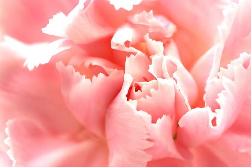 花 カーネーション 母の日 ピンク バック コピースペース 淡い 年中行事 切り花 植物 かわいい イベント アップ 花びら マクロ