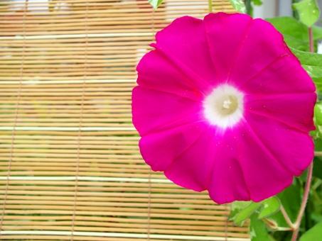 朝顔 アサガオ あさがお ヒルガオ科 花 植物 夏 ピンク 赤 簾 スダレ すだれ 観察 自然