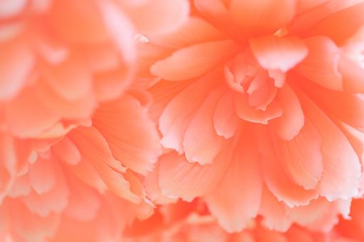 自然 植物 花 花びら オレンジ色 淡い パステル 大輪 アップ 成長 育つ 咲く 満開 開く 開花 多い 沢山 密集 集まる 鮮やか 可愛い 綺麗 華やか 美しい 加工 無人 アート フラワー 背景 生花 フラワーアレンジメント 複数 幻想的