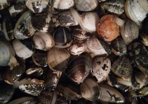 アサリ あさり 浅利 潮干狩り 海 貝 初夏 ゴールデンウィーク gw 砂浜 干潟 生きた貝 アップ テクスチャ 背景 砂抜き