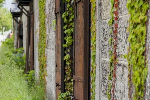 建物 外観 壁 外壁 窓 植物 葉 葉っぱ 蔦 つた 伸びる 壁面 自然 蔦の葉 アイビー 栽培 自生 野生 育つ 成長 レンガ 緑 新緑 夏 倉庫 石造り倉庫 小樽 北海道