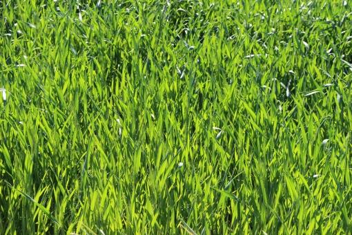 大麦畑 大麦 むぎ 麦 畑 緑 グリーン 草 雑草 風 田舎 天気 テクスチャ 素材 植物 葉っぱ 葉 風景 全面緑 全面 単色 カラー 景色 自然 大自然 ナチュラル 背景