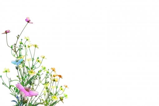 コスモス 秋 デジタルボタニカルアート 水彩画風 コピースペース 香り 清楚 自然 植物 樹木 木 葉っぱ 木の葉 新緑 緑 グリーン 初夏 夏 爽やか クリーンイメージ 木漏れ日 光 透過光 待ち受け 清潔感 澄んだ空気 若葉 眩しい テクスチャー 壁 壁紙 テクスチャ インテリア ナチュラル おしゃれ 温もり ぬくもり 白 ウエディング 花嫁
