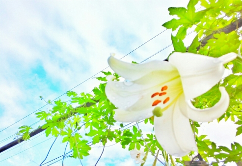 晴れ 晴天 青空 青い ブルー そら 空 スカイ スカイブルー 水色 みずいろ 雲 太陽 ひかり 光 輝き きらきら 花 フラワー 白い ホワイト ゆり 百合 ユリ 葉 はっぱ 緑 みどり グリーン 景色 自然 しぜん 植物 癒し きれい 綺麗 キレイ 美しい ビューティフル 心に潤い 夏 なつ サマー 暑い季節 7月 8月 たのしい エンジョイ 休日 休み さんぽ 散歩 ゆっくり