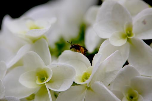 紫陽花 あじさい アジサイ 梅雨 雨期 初夏 植物 小さい 屋外 外 庭 ガーデニング 花壇 栽培 趣味 花びら 花弁 草 アップ 自然 野生 自生 野草 可愛い 可憐 細かい 白い花