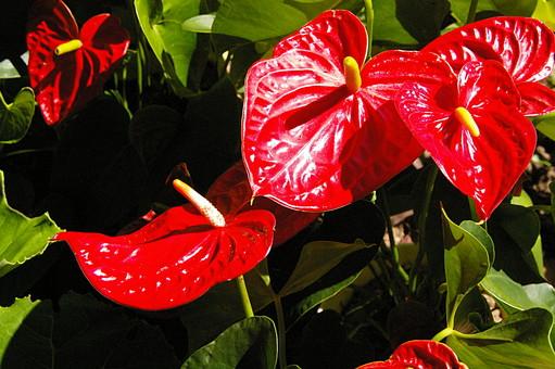 アンスリューム アンスリウム 花 植物 赤 赤色 咲く 熱帯植物 トロピカル 自然 南国 夏 真夏