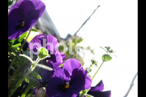 可憐な紫の花の写真
