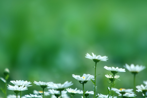 自然・風景 植物 花 白い花 春の花 春イメージ マーガレット 新緑 若葉 新芽 花畑 グリーンバック 待ち受け画面 ポストカード コピースペース 背景 野外アウトドア 森・林・公園 かわいい花 光を浴びて 光溢れる 光透過光 みずみずしい 花言葉・恋占い 花言葉・真実の愛 四月・五月 バックスペース 季節感