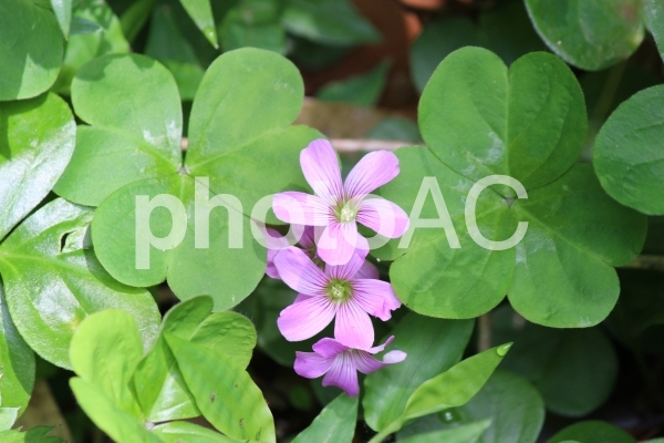 小さいピンクの花の写真