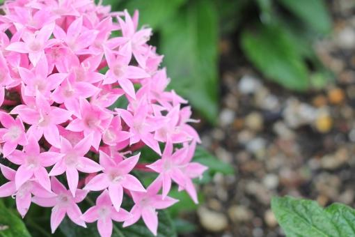 花 ペンタス ピンク 桃色 クササンタンカ アカネ科 クササンタンカ属 ペンタス属 きれい 綺麗 かわいい 可愛い