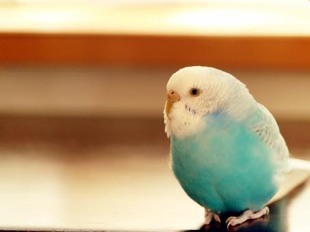セキセイインコ インコ 青 腹割れ 動物 鳥 ペット カメラ目線 メス かわいい 一羽 小鳥 手乗り 窓辺 室内 内股 もふもふ