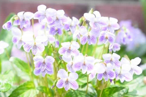 すみれ スミレ 菫 花 植物 花壇 ガーデニング 一面 満開 薄紫 紫 ムラサキ むらさき 白 背景 壁紙 葉 ふんわり