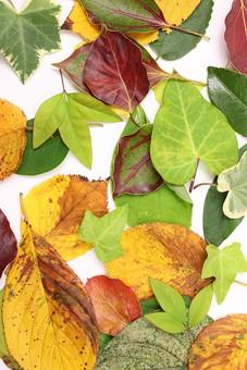 葉 葉っぱ 緑 植物 ナチュラル 白バック 白背景 エコ エコロジー 自然 新緑 ピュア 葉脈 木の葉 枯葉 枯れ葉 落ち葉 落葉 秋 紅葉