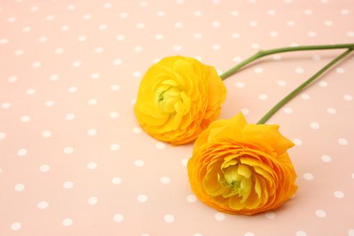 お花     ラナンキュラス ピンク 布 ドット バック 布 黄色     花      植物     花びら     無人     フラワー  コピースペース