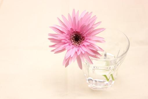 花     植物     ガーベラ     咲く    ピンク     一輪     パステルカラー     満開        花びら     コップ ナチュラル グラス かわいい