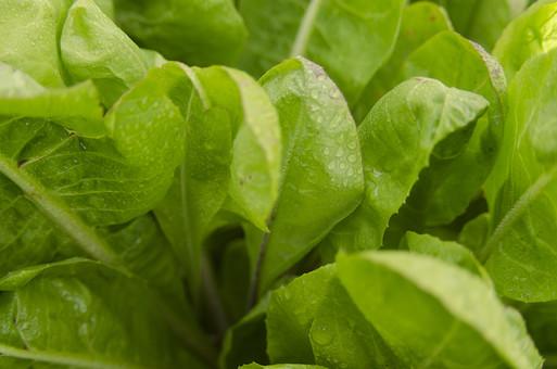 葉もの野菜 リーフ 葉 葉っぱ 植物 栽培 自然 屋外 外 アップ 緑 伸びる 生命 鮮やか 育てる 大地 成長 筋 薄い 葉脈 食料品 食品 食べ物 食べる 健康 フレッシュ 新鮮 自然 ダイエット 食材 農業 収穫 栄養