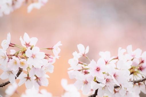 桜 さくら サクラ フレーム 春 春イメージ ソメイヨシノ コピースペース 文字スペース テクスチャ バックグラウンド 背景 綺麗 かわいい パステル ふんわり 壁紙 ピンク ピンク色 ももいろ 桃色 淡い 高画質 入学 入園 お祝い メッセージ 花 花木 木 植物