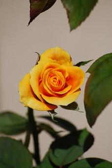 自然 風景 環境 植物 花 草花 観葉 手入れ 栽培 世話 水やり 植える 育てる ベランダ 庭 林 公園 花壇 癒し 咲く 開花 成長 土 観察 アップ たくさん きれい 美しい かわいい 黄色 バラ