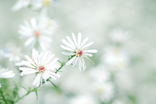 クジャクソウ 孔雀草 孔雀アスター キク科 白 白い花 花 植物 夏 秋 8月 9月 10月 11月 ふんわり コピースペース クローズアップ アップ 接写
