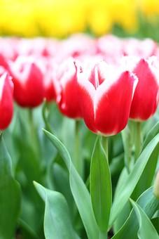自然 風景 スナップ 旅行 植物 花 あざやか 原色 人気 チューリップ オランダ ポピュラー 花びら 花弁 茎 栽培 ガーデニング 庭園 植物園 温室 見頃 満開 旬 季節 赤 黄色 きれい