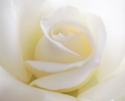 ばら バラ 白いバラ 薔薇 白 しろ 花 植物 淡い色 純白 背景 壁紙 結婚式 ウェディング テクスチャ 光 ひかり バック 素材 純潔 女性 気品 優雅 上品 美 エステ 美容 アロマ 癒し 母の日 恋愛 愛 花びら 春 秋 バレンタイン ベージュ