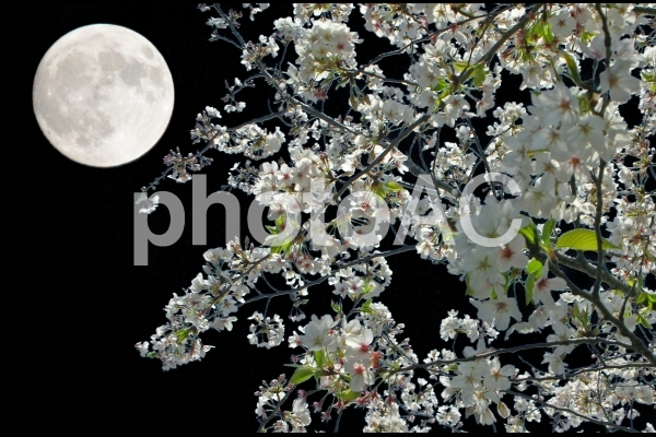 月夜の桜の写真