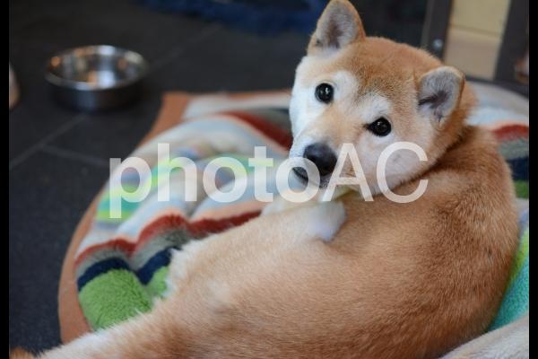 振り返る秋田犬の写真