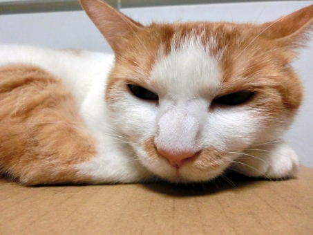 ネコ 猫 目をそらす 茶色 白 ピンクの鼻 ヒゲ 白いひげ 耳 目を開けた 表情 顔 寝そべった ふてくされた 怒り気味 無表情 興味なし 態度 そっぽ向いた 飼い猫 家猫 室内猫 ペット 不機嫌 アップ 猫の手 動物 すねた いじける にゃらん