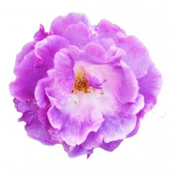 【パス入り】むらさき色の花の写真