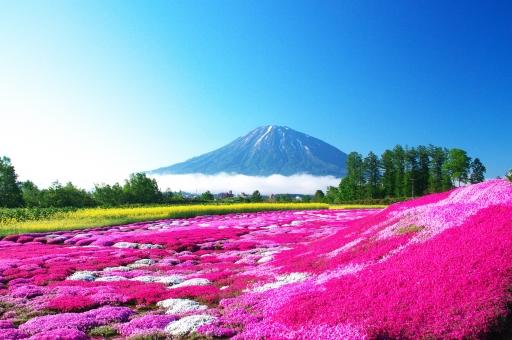 花畑の壁紙幻想的な芝桜