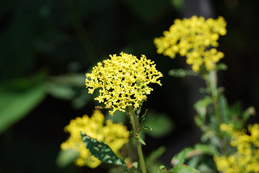 おみなえし 花 お花 フラワー 背景 植物 きれい 咲く 晴れ 満開 風景 自然 明るい  屋外 花びら 園芸 ガーデニング アップ 接写 開花 趣味 生花 葉 葉っぱ 花壇 黄色い花 細かい花
