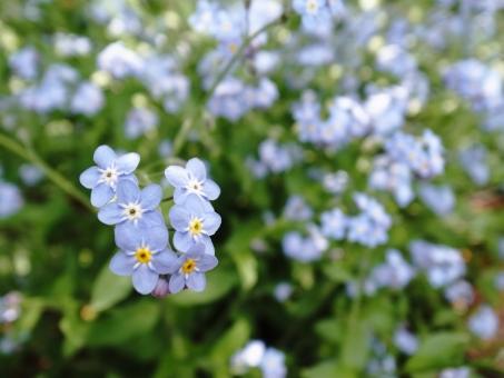 勿忘草 ワスレナグサ 忘れな草 エゾムラサキ 春 青 薄紫 黄色 緑 小さい花 花 植物