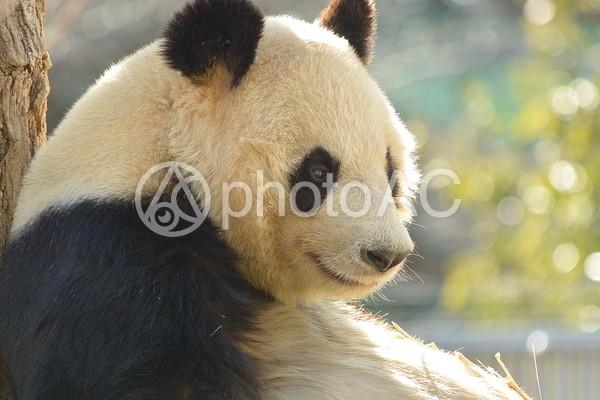 横顔のジャイアントパンダ16の写真