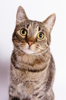 動物 生き物 動物園 哺乳類 人気 ペット ふわふわ 有名 かわいい 人気 猫 キャット 獣 家猫 トラ 模様 小さい 小型 飼う 飼育 愛玩 癒し 毛 短毛種 毛並み 耳 柄