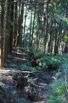 日本 国内 関東 関東山地 観光地 野外 ハイキング 森林浴 トレッキング 登山 山登り 登山道 山 野外 アウトドア 自然 風景 植物 樹木 木立 林 森林 下草 茂み 地面 土 木の根 溝 穴 猪 イノシシ いのしし 木漏れ日 杉 スギ 杉林 スギ林 針葉樹林