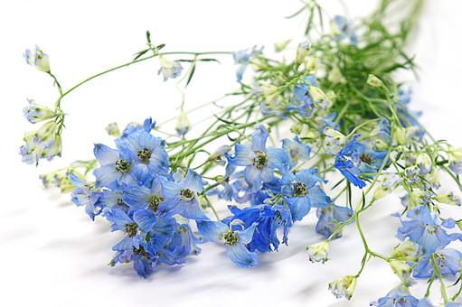 花 デルフィニウム ラークスパー 陽気 活発 軽快 5月 6月 一年草 植物 フラワー 種子植物 花弁 花びら 生花  葉 葉っぱ ヒエンソウ チドリソウ 白背景 白バック ホワイトバック 青い花 千鳥草 飛燕草