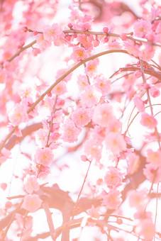 自然 植物 花 花びら ピンク色 桃色 梅 多い 沢山 密集 集まる 成長 育つ 満開 開花 咲く 開く 枝垂れ 垂れる ぼやける ピンボケ アップ 加工 空 無人 室外 屋外 風景 景色 春 見頃 可愛い 鮮やか 綺麗 華やか 美しい 幻想的