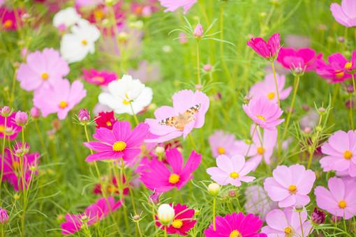 秋の風景 コスモス アキザクラ 秋桜 蝶 蝶々 昆虫 コスモス畑 花畑 花園 桃色 ピンク 白 緑 植物 花 草花 一面 満開 散歩 散策 自然 風景 景色 真心 のどか 鮮やか 華やか 美しい 綺麗 明るい
