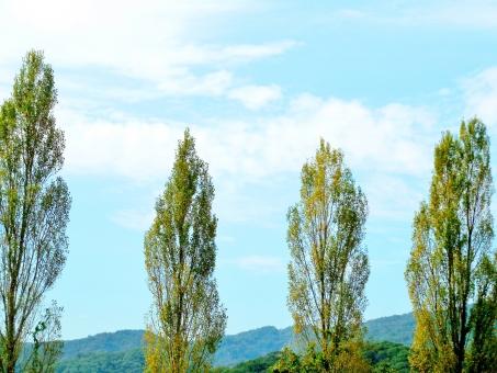 満々 ポプラ ポプラ並木 木 樹木 植物 公園 雲 白い雲 晴れ 晴天 快晴 青い 青色 水色 空色 ブルー blue 自然 風景 景色 壁紙 背景 テクスチャ 素材 キレイ 綺麗 きれい 緑 緑色 グリーン green 景観 美しい 鮮やか 爽やか 気持ちいい 気持ち良い 静か 静寂 癒し 秋 初秋 爽快 満々