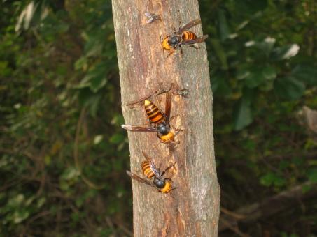 自然 風景 生物 昆虫 植物 アカメガシワ オオスズメバチ 五色台 香川県 危険生物