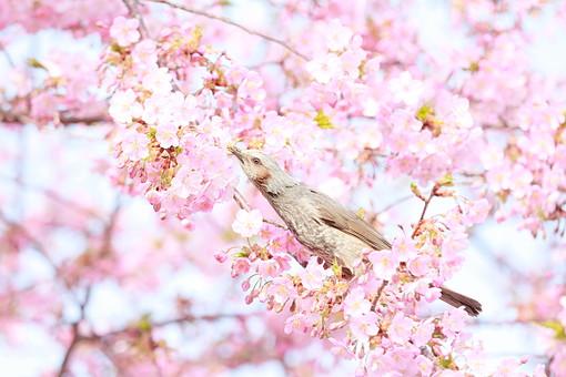 サクラ 桜 さくら 桜の木 花 フラワー 春 3月 4月 季節の花 春の花 華やか ピンク 新学期 カレンダー カレンダー用写真 ピンクの花 風景 植物 花の木 花見 日本 日本の花 学校 入学式 公園