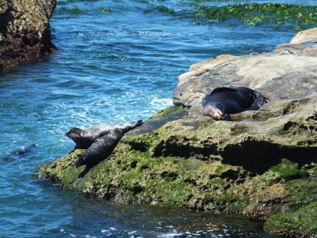 野生 動物 生き物 アシカ アザラシ 海 怠ける なまける ひなたぼっこ お休み 岩 夏 海岸 カリフォルニア サンディエゴ ラホヤ m アメリカ 海外 西海岸 のんびり 休日