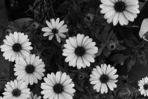 モノクロ 白黒 白い花 モノクロ写真 モノクロ画像 白と黒 花 お花 自然 植物 草花 ポストカード postcard 白黒写真 シンプル コントラスト 花の画像 一面