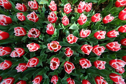 自然 風景 スナップ 旅行 植物 花 あざやか 原色 人気 チューリップ オランダ ポピュラー 花びら 花弁 茎 栽培 ガーデニング 庭園 植物園 温室 見頃 満開 旬 季節  赤 俯瞰 整列