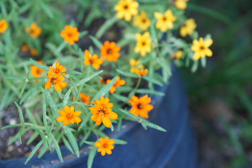 黄色い花 オレンジ色の花 花 はな 植物 草花 自然 接写 クローズアップ アップ 小さい花 花びら 茎 葉 ぼかし 園芸 ガーデニング 庭 栽培 自生 野生 開花 満開 鮮やか 華やか 黄色 オレンジ