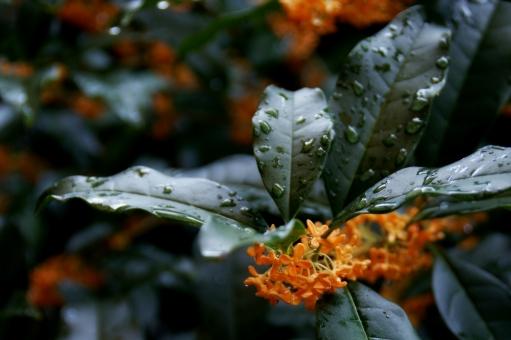 きんもくせい 花 キンモクセイ 花びら 木 オレンジ色 秋の花 庭木 秋 香り 金木犀 秋の芳香 芳香 白露 節気 季節 二十四節気 節季