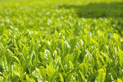 茶 新茶 日本茶 八十八夜 新緑 和 緑 葉 煎茶 茶畑 農業 茶葉 芽 新芽 greentea 明るい