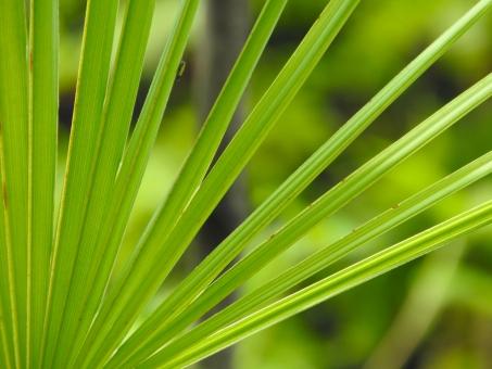 椰子の葉 やし ヤシ 椰子 葉 葉っぱ はっぱ は アップ マクロ グリーン ミドリ 緑 みどり 植物 背景