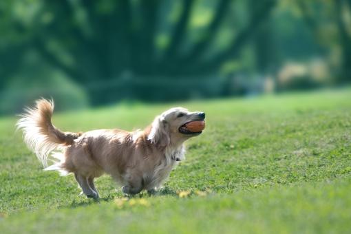 自然 風景 植物 生き物 イヌ 犬 ペット 休日 日曜日 春 新緑 若葉 新芽の季節 公園 森・林 野外アウトドア 待ち受け画像 ポストカード コピースペース 初夏 夏 芝生 ドックラン 颯爽と